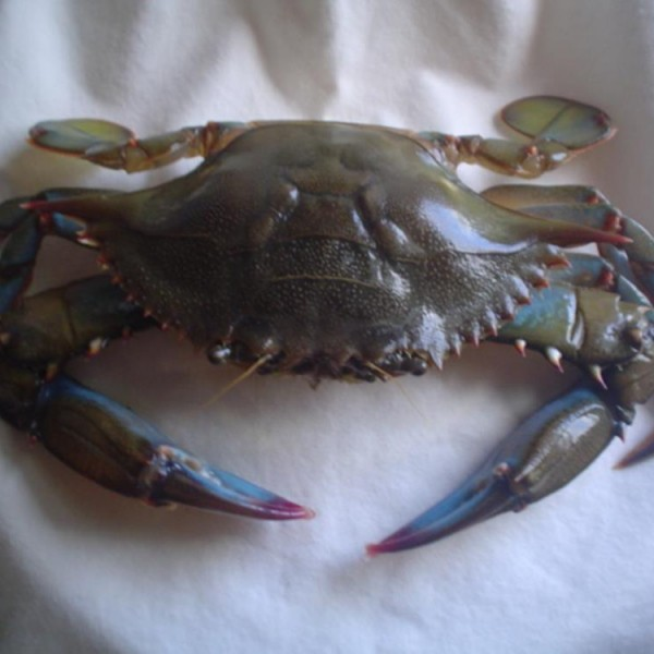 Maryland Large Blue Crabs