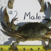 Number 2 Male Maryland Crabs